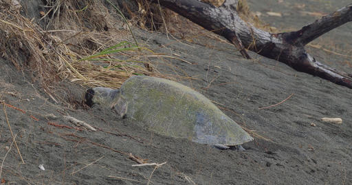 Leatherback Sea Turtle, Laying And Covering Her Eggs, Costa Rica Footage