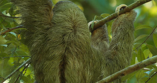 Three Toed Sloth With Its Baby, Costa Rica Footage