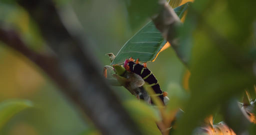 Frangipani Hornworm Caterpillar, Gathering Food, Costa Rica Live Action