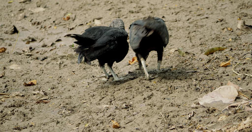 Grappling Pair Of Black Vultures, Costa Rica Footage