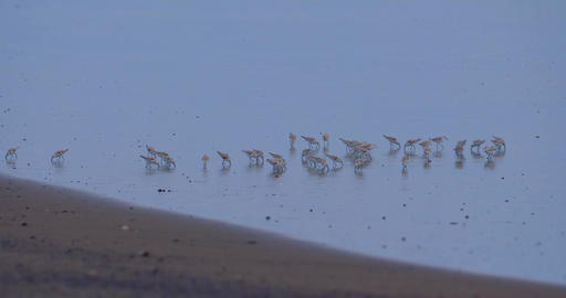 Flock Of Spotted Sandpiper Birds, Costa Rica Live Action