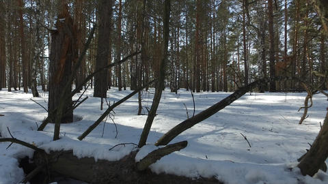 Dry tree in the snow. Winter forest Footage