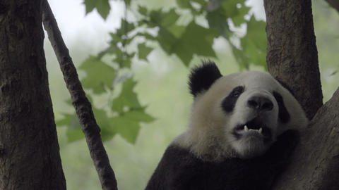 Panda getting comfortable in a tree Live Action