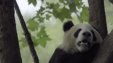 Panda getting comfortable in a tree Footage