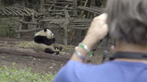 Fat Panda being photographed by tourist Footage