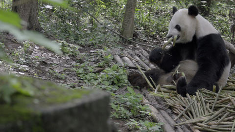 Panda sitting in the woods gnawing on bamboo Footage