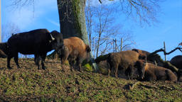 Farmed Bison, Buffaloes Image
