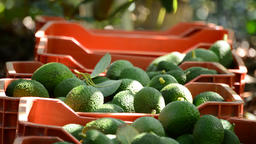Avocado boxes in plantation with avocados fruit just harvested Footage