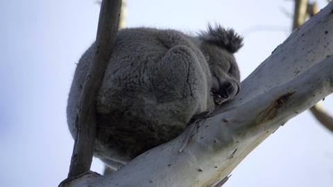 Furry Koala bear sleeping high in the branches Live Action