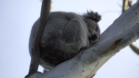 Furry Koala bear sleeping high in the branches Stock Video Footage