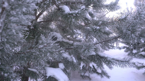 beautiful snow-covered trees and pine needle covered with white frost Footage