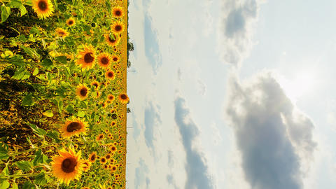 Vertical video. Field of sunflowers in sunny weather. HDR, Backlight Footage