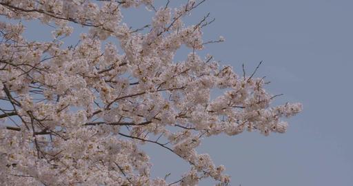 Sakura 06 影片素材