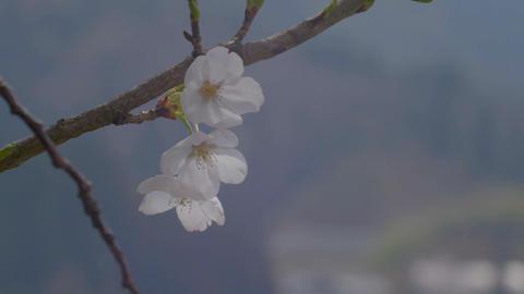 Sakura 10 ภาพวิดีโอ