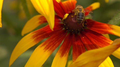 Honeybee crawling on yellow coneflower and flying away. Super slow motion macro Footage