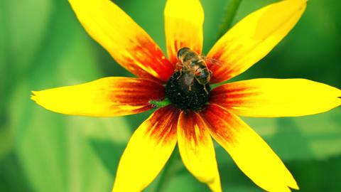 Honeybee crawling on yellow coneflower and flying away. 4K macro video, vivid Footage