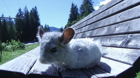 gray chinchilla running on a bench Live Action