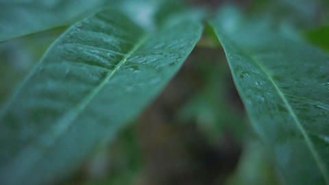 Wet leafs in the rain moving in slow motion Live Action