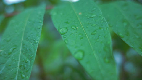 Wet leafs after rain Footage