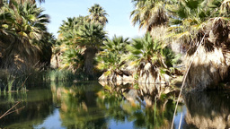 The palm trees at Coachella Valley Preserve Footage