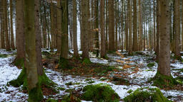 Conifer Forest in Spring, with snow remains Footage