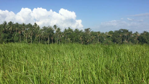 Long tall green grass blowing in the wind in a field with palm trees, blue sky Footage