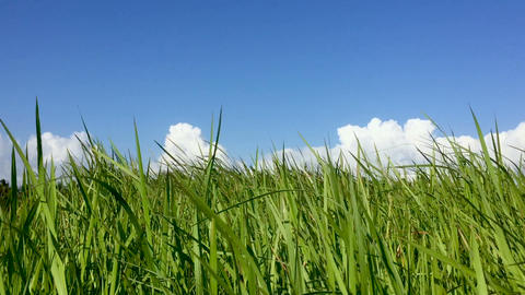 Low angle of a field of tall grass blowing in the wind and clear blue sky with Footage