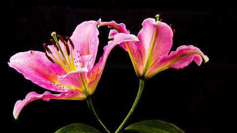 Time Lapse - Two Pink Oriental Lily Flower Blooming with Black Ground - 4K Footage