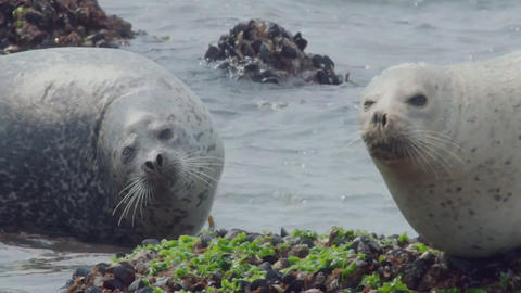 Fur seals rest on a small island (Kamchatka) Footage