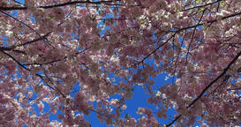 Flowering Cherry Trees, Olympic Park in Munich, Bavaria, Germany Footage
