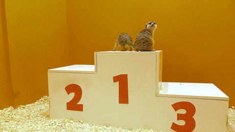Two meercats on a victory podium. Awarding, victory and winning concepts. 4K Live Action