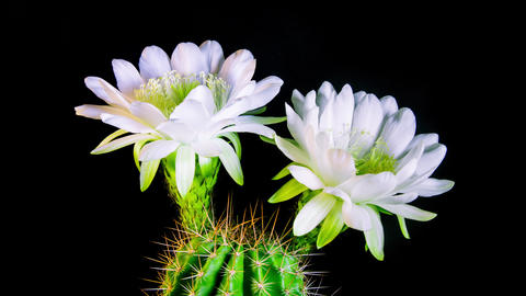 Time Lapse - White Echinopsis Cactus Flowers Blooming with Black Background - 4K Footage