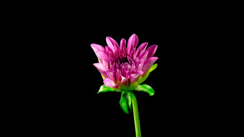 Time lapse - Blooming Pink Dahlia Flower HD Footage