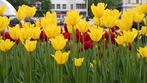 Tulips in the city street Footage