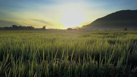Flycam Removes from Dawn Shining over Rice Fields against Hill Footage