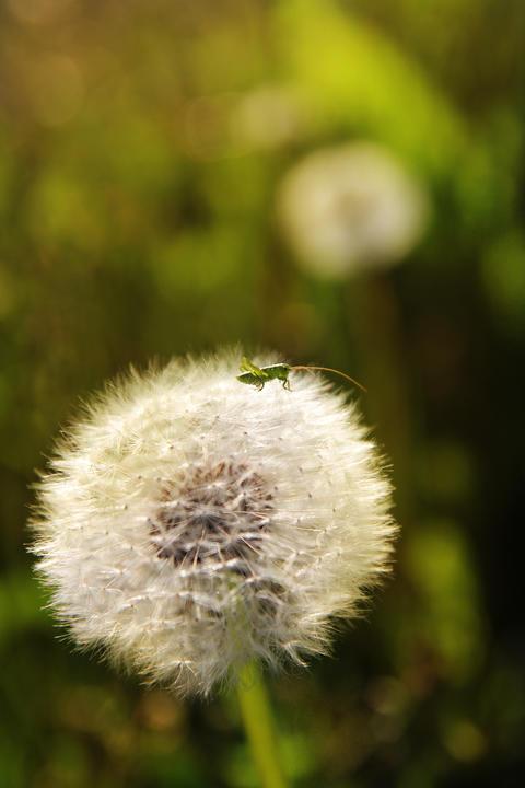 a small grasshopper on a dandelion フォト