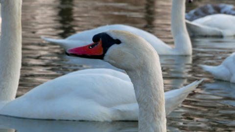 Swan On River 4k