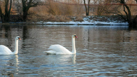 Swan 0