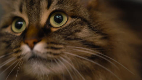 Cute muzzle of a tabby domestic cat that looks in… Stock Video Footage