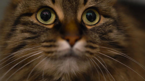 Cute muzzle of a tabby domestic cat that looks in different directions Footage
