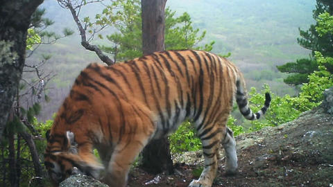 Amur tiger in the taiga (western Siberia) Stock Video Footage