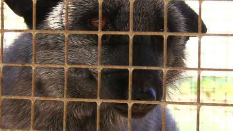 Black Aggressive Fox in a Cage Footage
