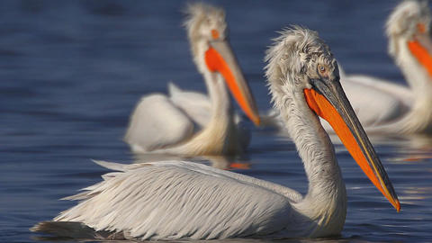 pelicans swim in the lake close-up Live Action