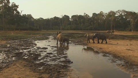 forest elephants in the Dzanga Sangha National Park Footage
