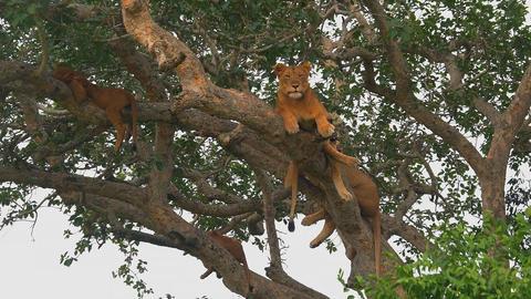 Lion resting on a tree. (East Africa, Uganda) Live Action