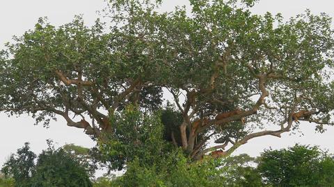 Lion resting on a tree. (East Africa, Uganda) Footage