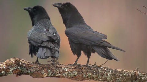 Black crows sit on a branch close-up Footage