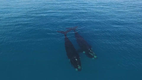 Aerial view of whales in a quiet ocean Footage