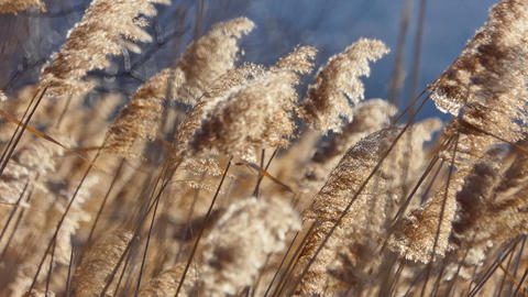 Reed on sunset with selective focus. Shallow depth of field. 50fps ライブ動画