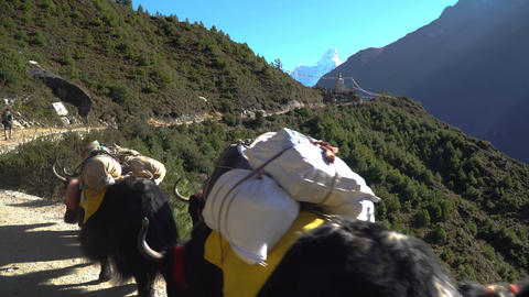 Porters and yaks on the trail in the Himalayas Footage